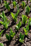 Tulips growing Royalty Free Stock Photography
