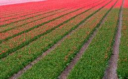 Tulips growing in a field near Keukenhof Gardens, Lisse, South Holland