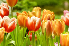 Tulips growing in garden Stock Photos