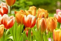 Tulips growing in garden Stock Photos