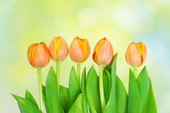 Tulips  growing on natural bokeh Stock Images