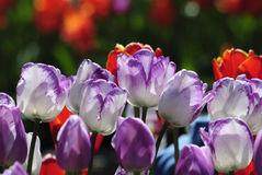 Tulips growing outside Royalty Free Stock Image