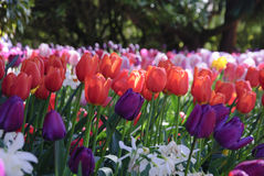 Tulips growing outside Stock Photo
