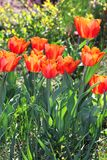Tulips growing in the park Royalty Free Stock Photography
