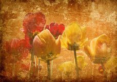Tulips on a grunge background. Photo of tulips pasted on a grunge old paper background Royalty Free Stock Images