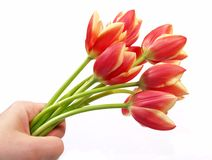 Tulips in hand stock photos
