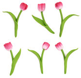 Tulips. Are handmade. Isolated on white background Royalty Free Stock Photo