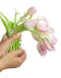Tulips in hands Royalty Free Stock Images
