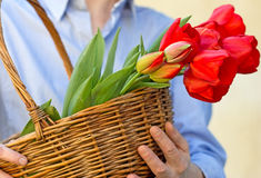 Tulips in hands Stock Images