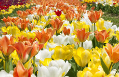 Tulips in Haymarket, Virginia Stock Image