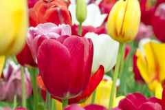 Tulips in Haymarket, Virginia Royalty Free Stock Photos
