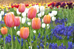 Tulips in Haymarket, Virginia. Field of colorful tulips in Haymarket, Virginia Stock Photo
