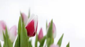 Tulips - highkey. Beautiful tulips on whte background - highkey royalty free stock photography
