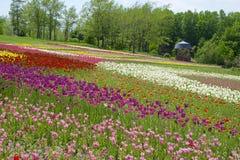 Tulips hill Stock Photos