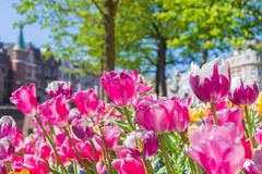 Tulips at Hofvijver in The Hague, Netherlands royalty free stock photos