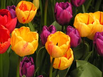 Tulips holandeses Fotografia de Stock Royalty Free