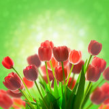 Tulips holiday background with  magic light Royalty Free Stock Photography