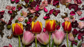 Tulips for holidays. Beautiful tulips bringing some joy and spring spirit in front of grayish background Royalty Free Stock Image