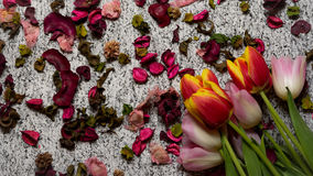 Tulips for holidays. Beautiful tulips bringing some joy and spring spirit in front of grayish background Royalty Free Stock Photo