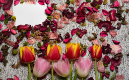 Tulips for holidays. Beautiful tulips bringing some joy and spring spirit in front of grayish background and a card added for free text Royalty Free Stock Image
