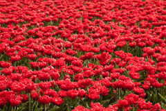 Tulips in Holland Stock Photos