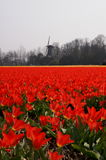 Tulips in Holland. Fields with red tulips and a windmill in the background Royalty Free Stock Photos