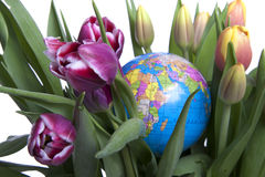 Tulips from Holland Royalty Free Stock Photos