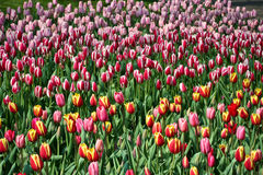 Tulips of Holland. An assortment of tulips blooming in Holland stock photos