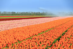 Tulips in Holland royalty free stock image