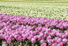 Tulips in Holland,Europe Stock Images