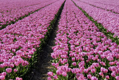 Tulips in Holland,Europe Royalty Free Stock Images