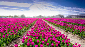 Tulips in Holland Stock Photography