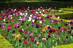 Tulips in Holland park, London royalty free stock photo