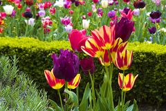 Tulips in Holland park, London Stock Photography