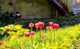 Tulips in home garden, Otaru, Hikkaido, Japan. Royalty Free Stock Image