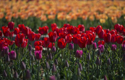 Tulips-Hot spring. Plant  flower  Tulips  nature  spring  park  color  scenery  gardening  herb Stock Images