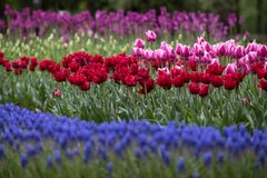 Tulips and hyacinths bloom royalty free stock photos