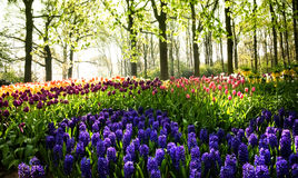 Tulips and hyacinths in spring Stock Photography