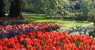Tulips and hyacinths under beech tree Stock Photos
