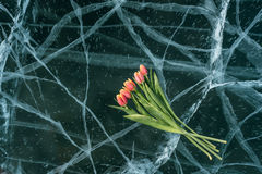 Tulips on Ice. Royalty Free Stock Photography