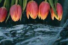 Tulips on Ice. Stock Photos