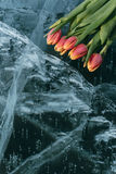 Tulips on Ice. Stock Images