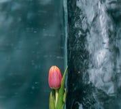 Tulips on Ice. Stock Image