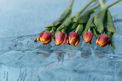 Tulips on Ice. Stock Photography