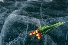 Tulips on Ice. Royalty Free Stock Images