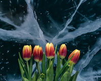 Tulips on Ice. Stock Photos