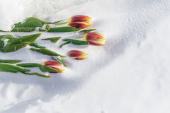 Tulips on Ice. Stock Image