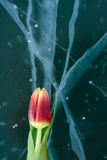Tulips on Ice. Royalty Free Stock Photo