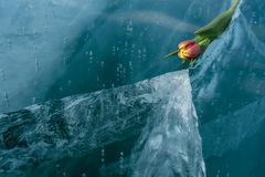 Tulips on Ice. Stock Photo
