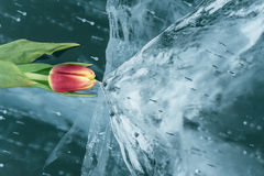 Tulips on Ice. Royalty Free Stock Image